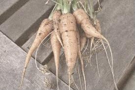 bbf10-carrot